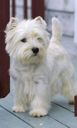 Título do anúncio: West Terrier
