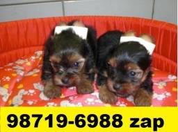 Canil Filhotes Cães Selecionados BH Yorkshire Poodle Pug Basset Beagle Shihtzu Maltês
