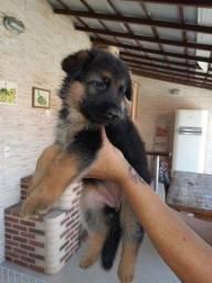 Lindos cães filhotes pastor alemão