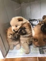 Chow Chow - belos filhotes com garantias!!!