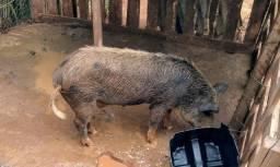 Java porco fêmea