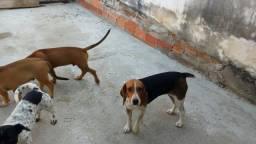 Vendo essa cachorra Beagle com um filhote 4 meses