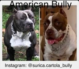 Filhotes top de Américan Bully