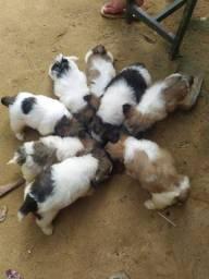 Vendo filhotes de Lhasa após com shitzu