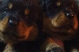 Rottweilers 10 x de R$ 150,00 sem juros