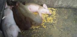 Leitao  porcos pequenos