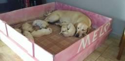 Filhotes Labrador!!