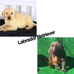 Labrador Retriever com pedigree e microchip até 12x