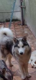 Título do anúncio: Vendo lindos filhotes de husky siberiano