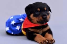 CanilCityPet filhotinhos de Rottweiler pronta entrega