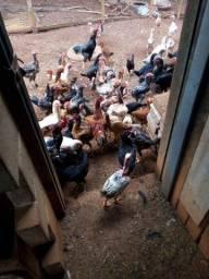 Vendo galinha poedeira e caipira
