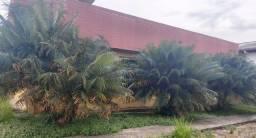 Título do anúncio: Palmeiras cica circinalis