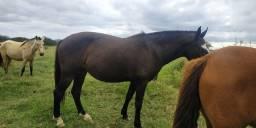 Égua Campolina prenha de cavalo MM