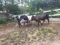 Título do anúncio: Duas bezerras e uma Mini vaca prenha.