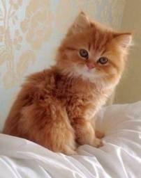Gatos Persa Lindos Filhottes