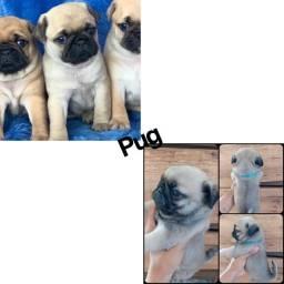 Pug com pedigree e microchip até 12x