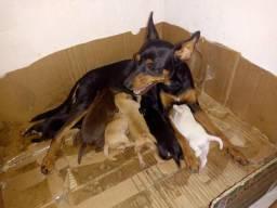 Vendo filhotes de cachorro da raça pinscher