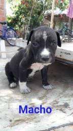Vendo cachorrinho, filhote de pitbull