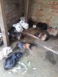 Porquinho da Índia filhote