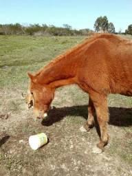 Vendo cavalo tostado e lobuno