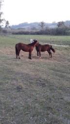 Cavalo Criolo e Égua Chucra