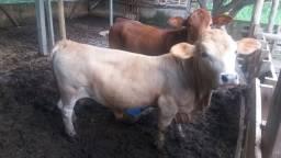 Vendo casal de mini bovino