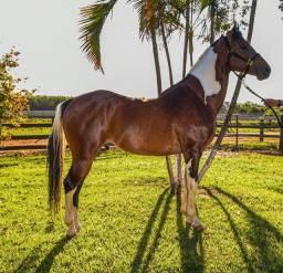 Cavalo Garanhão Paint Horse