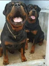 Rotwailer com pedigree