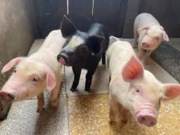 Título do anúncio: Leitões / porco