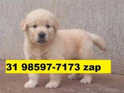 Canil Filhotes Cães em BH Golden Dálmata Pastor Akita Labrador Rottweiler Boxer