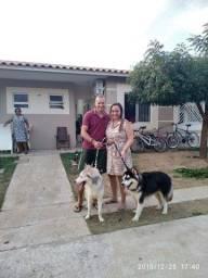 Huskies disponível pra cruza Machos