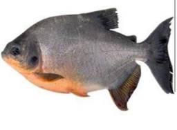 Peixe tambatinga