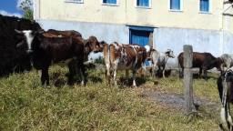 Vacas com bezerro