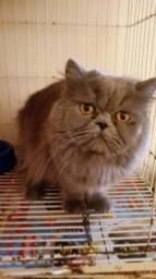 Vendo gato persa imalaia