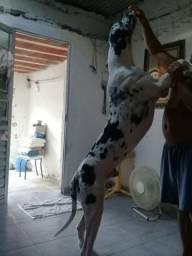 Dog alemão macho