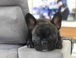 Procura-se uma namorada Bulldog francês