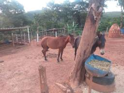 Burro, éguas e cavalos a venda