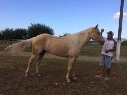 Vendo egua com 3 anos  de idade