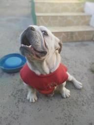 Bulldog inglês pedigree(Cobertura) cruzar