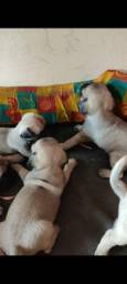 Filhotes de Pug Fêmeas 1 mês de vida