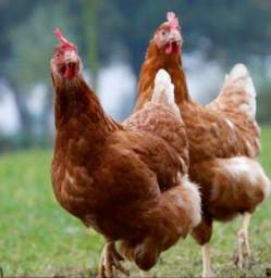 Vendo 3 galinha embrapa e 1 caipirão