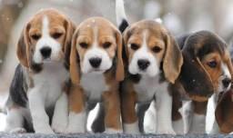 Filhotes Beagle