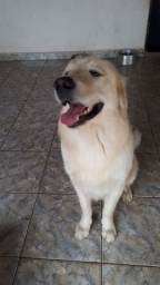 Procuro namorada - Golden Retriever