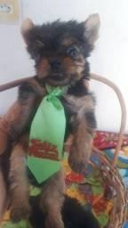 Título do anúncio: Mini york shire terrier