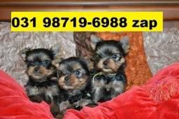 Canil Filhotes Cães Top BH Yorkshire Maltês Beagle Pinscher Lhasa Shihtzu Bulldog