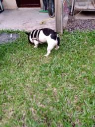 Bulldogue Francês cruza