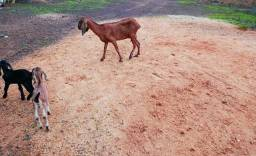 Título do anúncio: Vendo cabra, com 02 filhotes pelo de boi