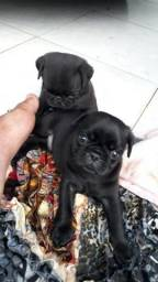 Vende-se cachorro Pug