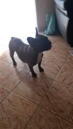 Bulldog fêmea
