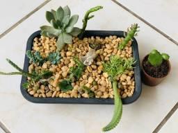 Vendo jardim com 14 tipos variados de suculentas e cactos $50,00 grande
